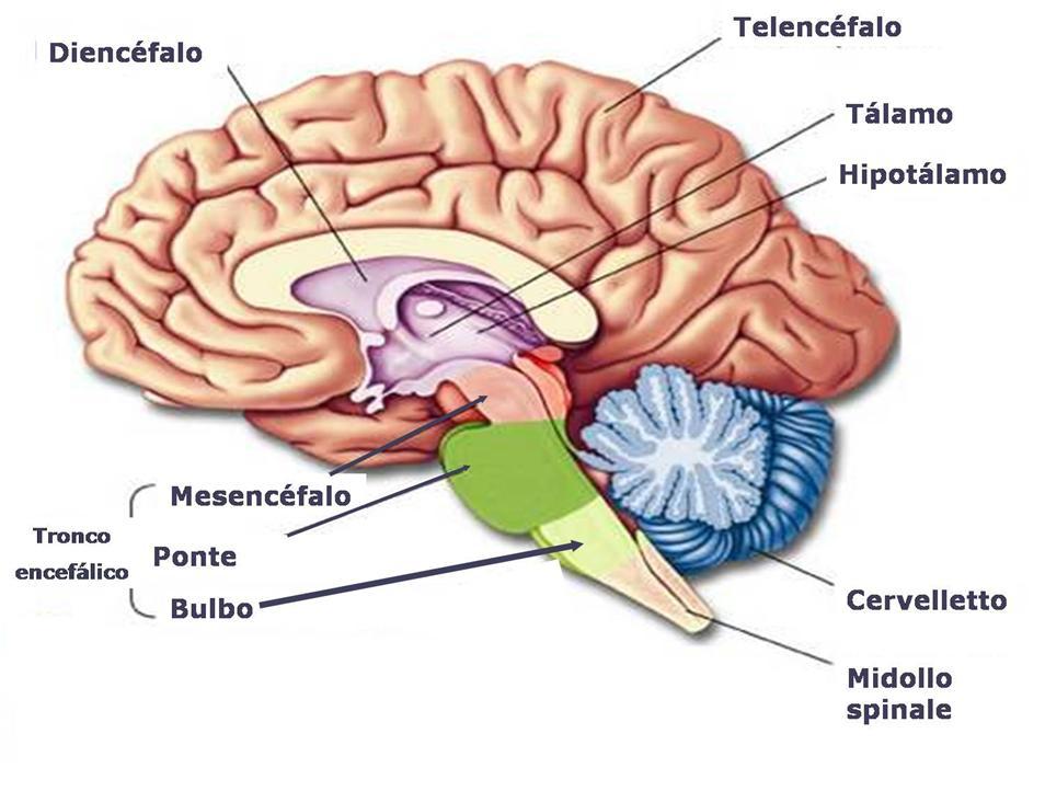 sistema_nervoso_cervello