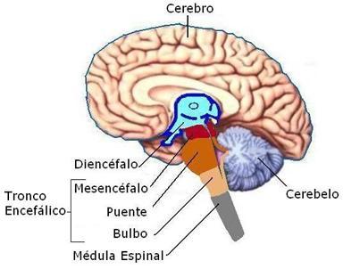 tronco-encefc3a1lico